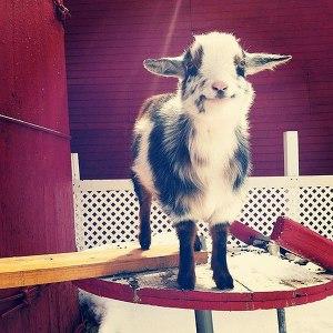 happy_goat_baby
