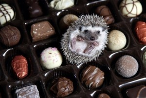 animals-chocolate-cute-hedgehog-Favim.com-521238