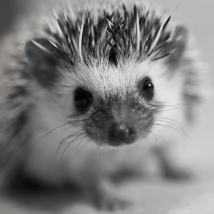 hedgehog baby via tumblr_lbcjq5Qdw71qa9u6ko1_500